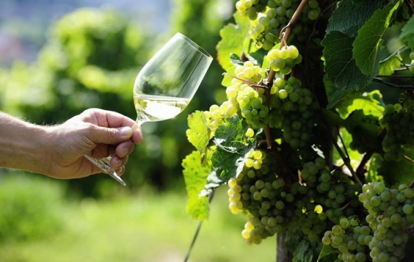 Riesling-Grapes-01